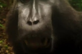 A Macaque Gets Its Point Across (VIDEO)