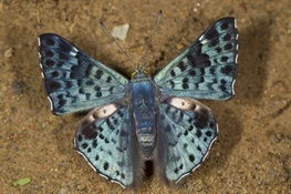 HOLY KALEIDOSCOPE! WCS Scientists Tally Boatloads of Butterflies