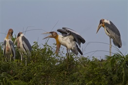 Success of Local Nest Protection Sparks Hope for Worldwide Conservation of Globally Endangered Greater Adjutant