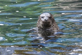 New York Aquarium Welcomes Harbor Seal Pup