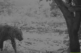 Leopard Confirmed by Remote Camera Monitoring in Nigeria's Yankari Game Reserve