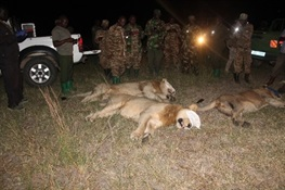 WCS Uganda Participates in the Rescue of Lions from the Communities around Queen Elizabeth National Park