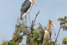 121 And Counting: Nests of Globally Vulnerable Lesser Adjutant Located in Northern Plains of Cambodia
