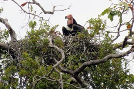 Three Critically Endangered Red-headed Vulture Nests Discovered  In Cambodia's Chhep Wildlife Sanctuary