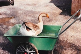 Mert, an Aged Domestic Goose at the Bronx Zoo, Euthanized Due to Complications from Tumor