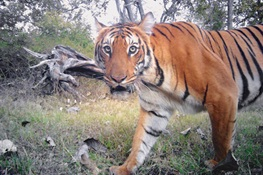 Tiger Breakthrough: Camera Trap Time Stamps Provide Valuable Data for Conservationists