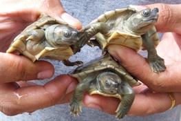 Hatching Hope: 39 Critically Endangered Burmese roofed turtles emerge from eggs