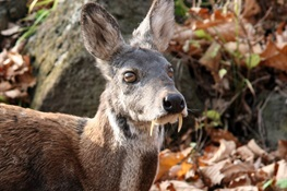 Musk Deer Poaching in Russia Linked to Logging Roads