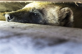 Are Wolverines in the Arctic in the Climate Change Crosshairs?