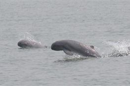 Myanmar Establishes New Protected Area For Critically Endangered Irrawaddy Dolphin