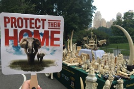 Wildlife Conservation Society Joins New York State, Tiffany & Co., and Partners to Crush Nearly 2 Tons of Elephant Ivory in Central Park