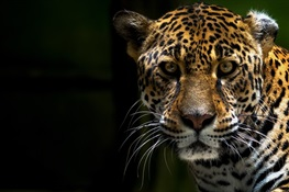 The Rising Threat to Jaguars from the Demand for Their Body Parts