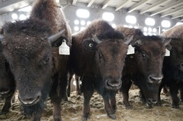 HOME AGAIN: WCS and Blackfeet Nation Partner to Bring Buffalo Back to Their Original Homeland
