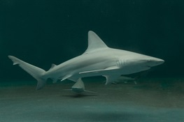 62 Shark Scientists Endorse Bipartisan Shark Sustainability Bill