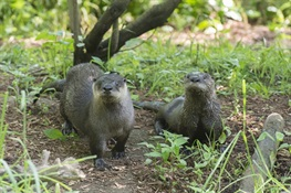 North American River Otter Pup Debuts at WCS's Prospect Park Zoo