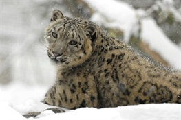SNOW LEOPARDS NO LONGER CONSIDERED 'ENDANGERED,' BUT SCIENTISTS URGE EXTREME CAUTION