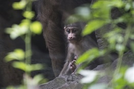 Baby Mandrill – The World's Largest Monkey Species – Debuts at the Bronx Zoo