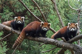 WCS Prospect Park Zoo Debuts Red Panda Cubs