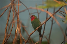 This Holiday Season, Red-and-Green Finches are Stars of WCS's Prospect Park Zoo