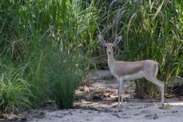 Slender-Horned Gazelles Get a New Home at WCS's Bronx Zoo