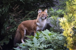 Bronx Zoo Debuts Pack of Endangered Dhole