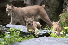 THREE Canada Lynx Cubs Debut at the Queens Zoo