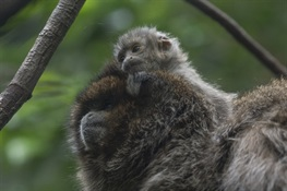 Bolivian Gray Titi Monkey Born at WCS's Bronx Zoo