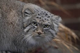 Prospect Park Zoo Joins Program to Breed Near Threatened Pallas's Cats