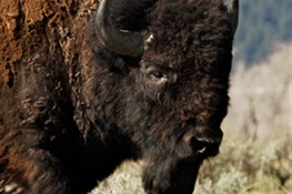AMERICAN ICON: Congress Passes Bill to Make Bison Our National Mammal