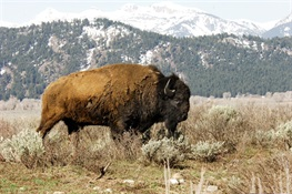Senate Approves National Bison Legacy Act