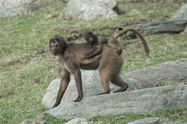 WCS's Bronx Zoo Debuts First Gelada Baboon Born in NYC in 13 years