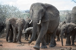 WCS Statement on the UK Ivory Ban – the Ivory Act of 2018