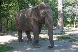 Maxine, A 48-Year-Old Asian Elephant, Has Been Euthanized at the Bronx Zoo