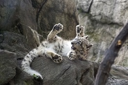 Snow Leopard Cub on Exhibit at Bronx Zoo