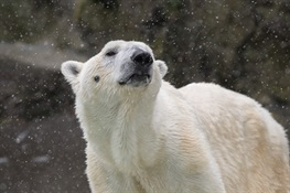 Bronx Zoo's Polar Bear Euthanized Due to Medical Conditions Associated with Old Age