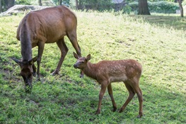 Aug. 4 - WCS Queens Zoo Debuts Roosevelt Elk Calf