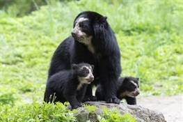 Two Rare Andean Bear Cubs Debut at Queens Zoo