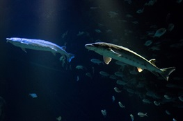 New York Aquarium Receives 5 Endangered Atlantic Sturgeon  To Educate Public About Imperative to Prevent Its Extinction