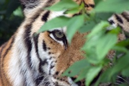 CITES CoP17: WCS Applauds Lao PDR for Committing to Shut Down Commercial Tiger Farms