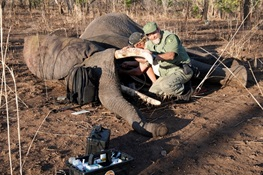 Mozambique Completes Major Elephant Collaring Effort