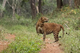 Breaking News to Cutting Edge Science: Understanding Leopard Populations in Human Landscapes