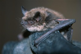 First Western Bat Found with Deadly White Nose Syndrome