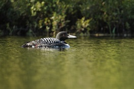 Annual Adirondack Loon Census: Volunteers Wanted
