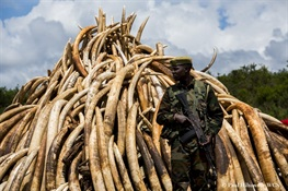 WCS Praises Kenya for Massive Elephant Ivory and Rhino Horn Burn Scheduled to take place on Saturday, April 30