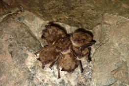 BAT SIGNALS: $2.5M, Four Year Study Launched to Fight Bat-Decimating Disease