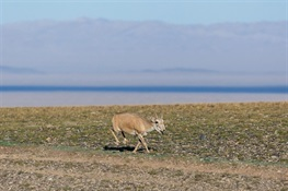 BREAKING NEWS: From CITES CoP18 on Saiga Antelope