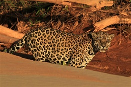 Will the Jaguar Survive? Conservation Groups have a Plan