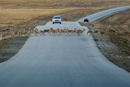 First Central Asian Migration Atlas Created to Reduce Harm to Wildlife from Infrastructure