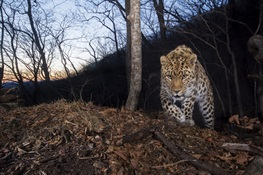 New Study: An Estimated 84 Highly Endangered Amur Leopards Remain in the Wild in China and Russia
