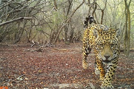 HOPE AND JAGUARS:  WCS Celebrates International Jaguar Day